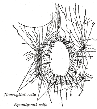 Diagram of astrocytes attached to ependymal cell of the brain