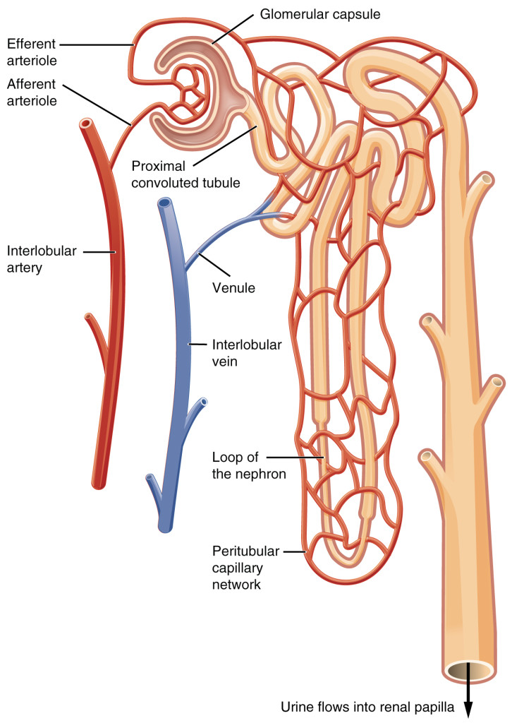 2611_Blood_Flow_in_the_Nephron