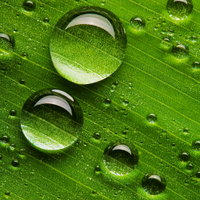 Water droplets on a waxy leaf surface