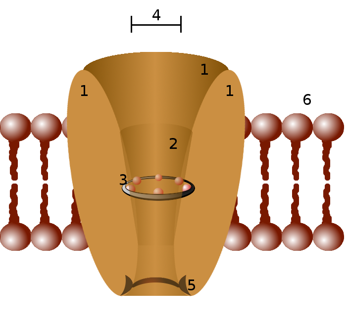A generic ion channel