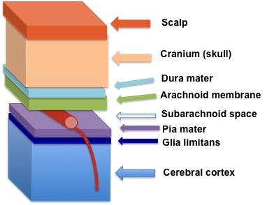 Position of the membranes covering the brain