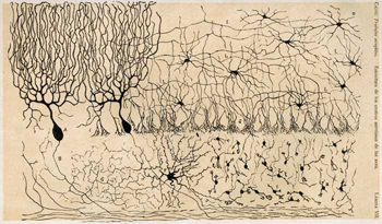 Drawing of cerebellum neurons by Santiago Ramon y Cajal
