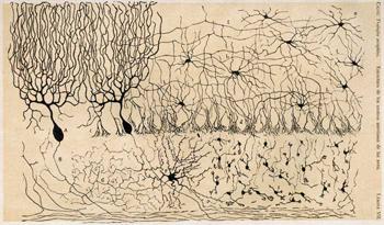 Drawing of Cerebellar Neurons