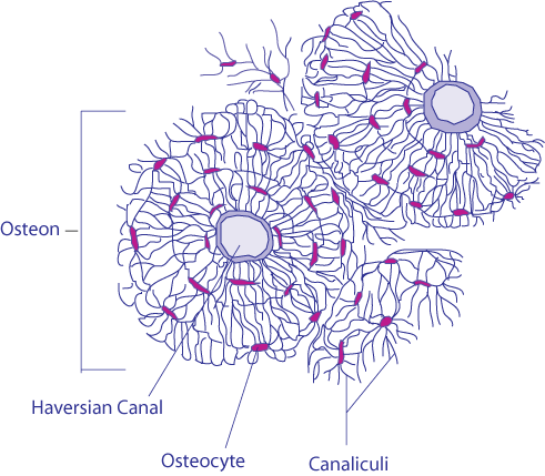 Diagram of the components of bone osteons