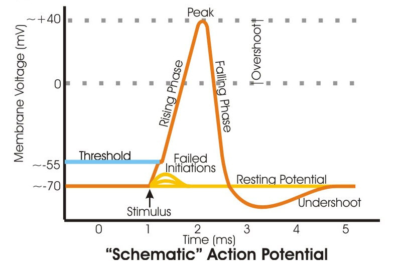 Schematic drawing of an axon action potential