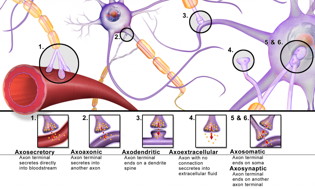 Neurons synapse at many different places