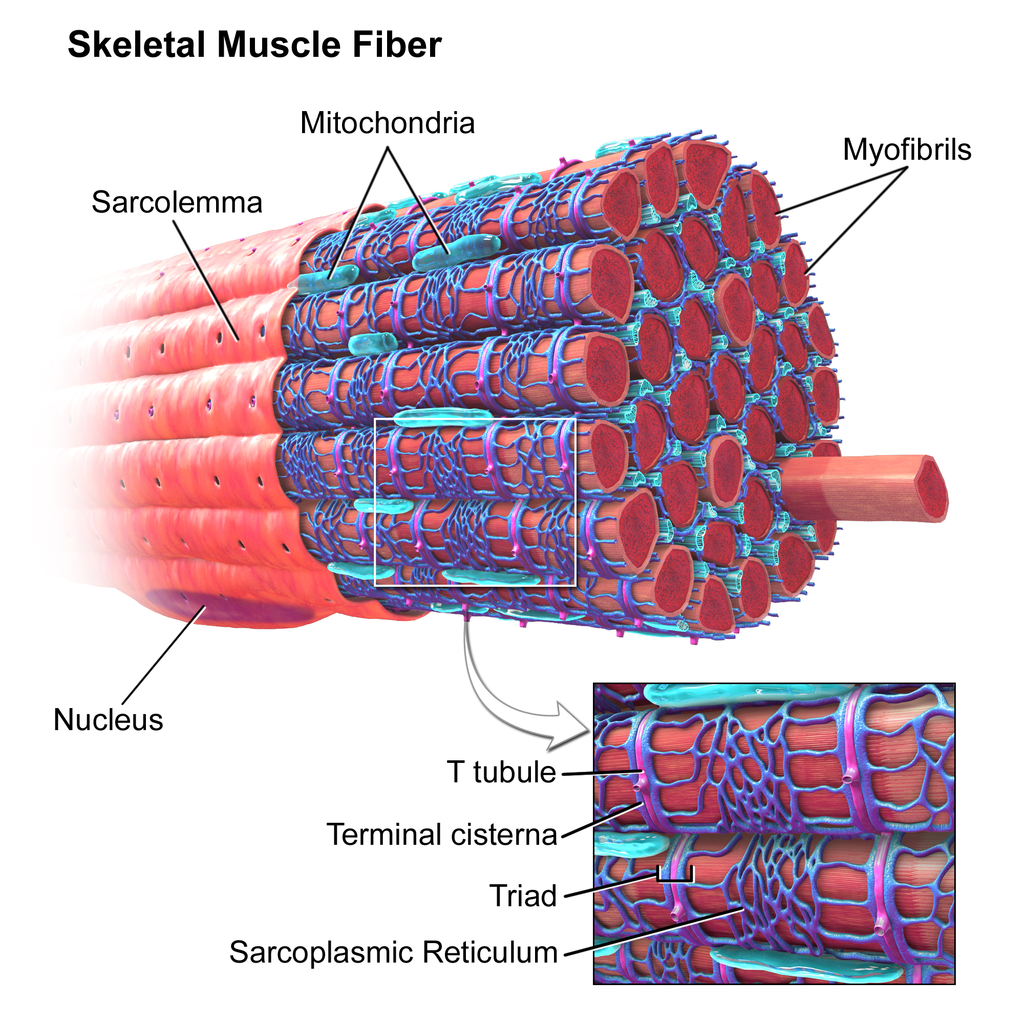 Illustration of the component of a skeletal muscle cell