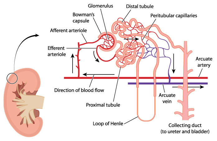 Nephron and its vasculature