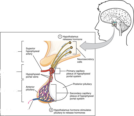 Illustration of the relationship between the brain and the pituitary gland.