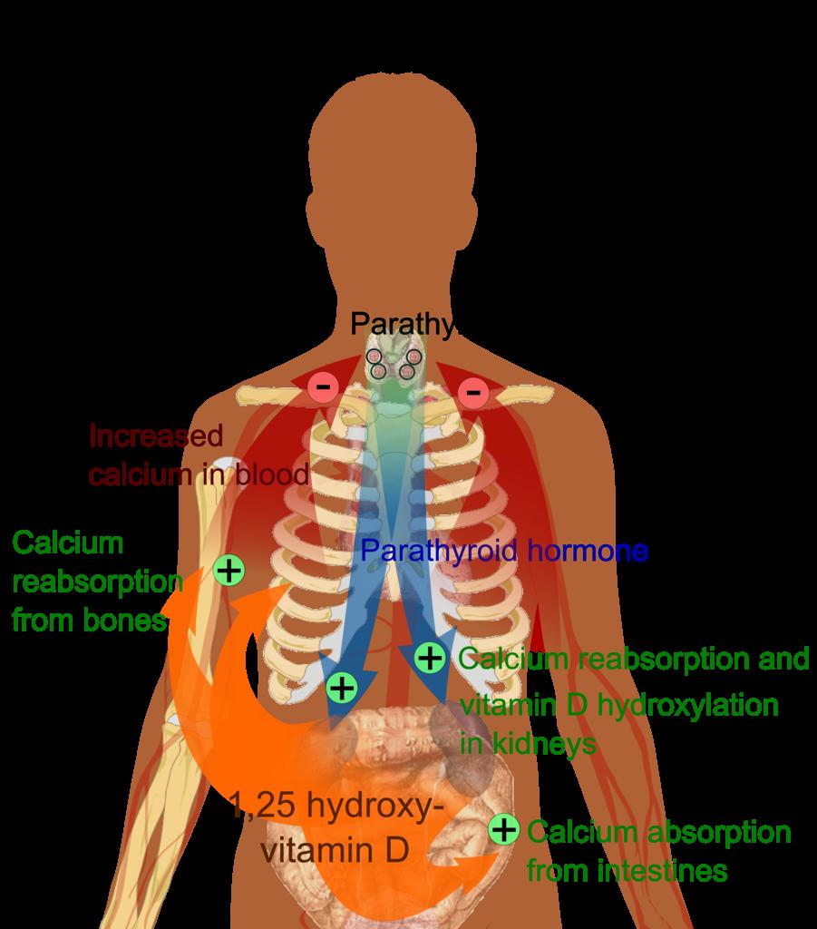 Hormone Regulation of Plasma Calcium  Human