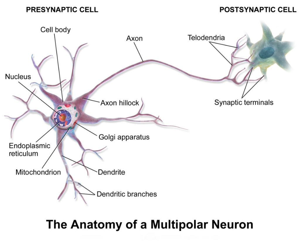 Illustration of a cell called a neuron showing its various functional parts.