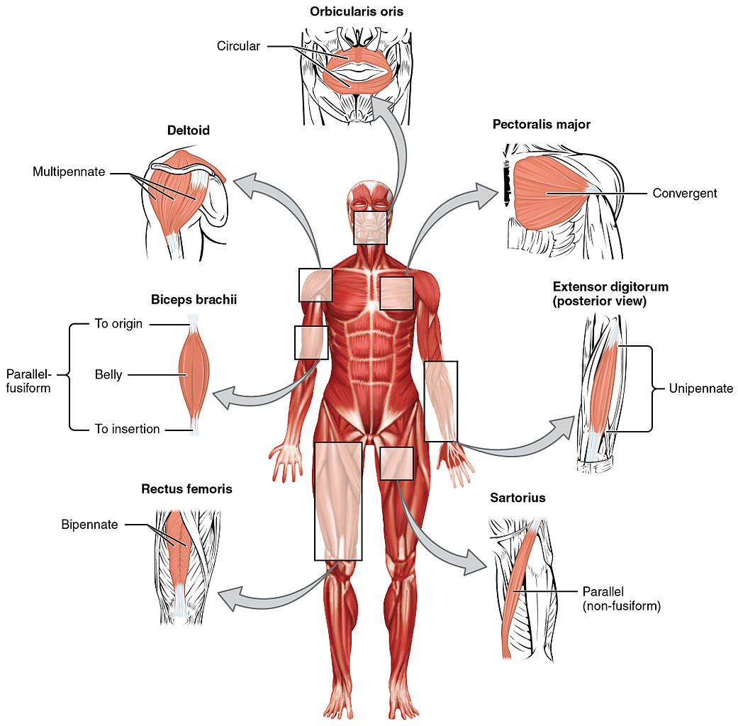 Muscle Origins Insertions And Levers